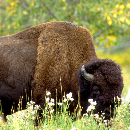 We're going to check out a few of Alberta's national parks and see what the heck the bison, and other neet things are up to over there!