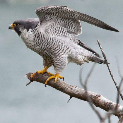 We're going to hang out with a falcon handler while exploring the ecosystems these amazing birds of prey spend time in.