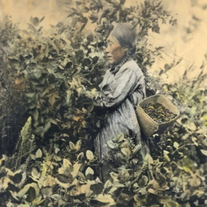 A Coast Salish Elder picking Berries from the Bush; with the help of actors we hope to recreate this moment in time.