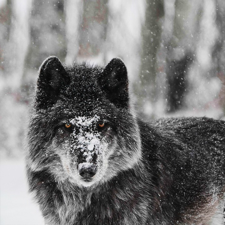 These high content wolf-dogs genetics are so close to the wild, that they could pass for real wolves from the area. Filming them on location in their sanctuary, will create powerful emotive imagery that will help drive the interview narrative.